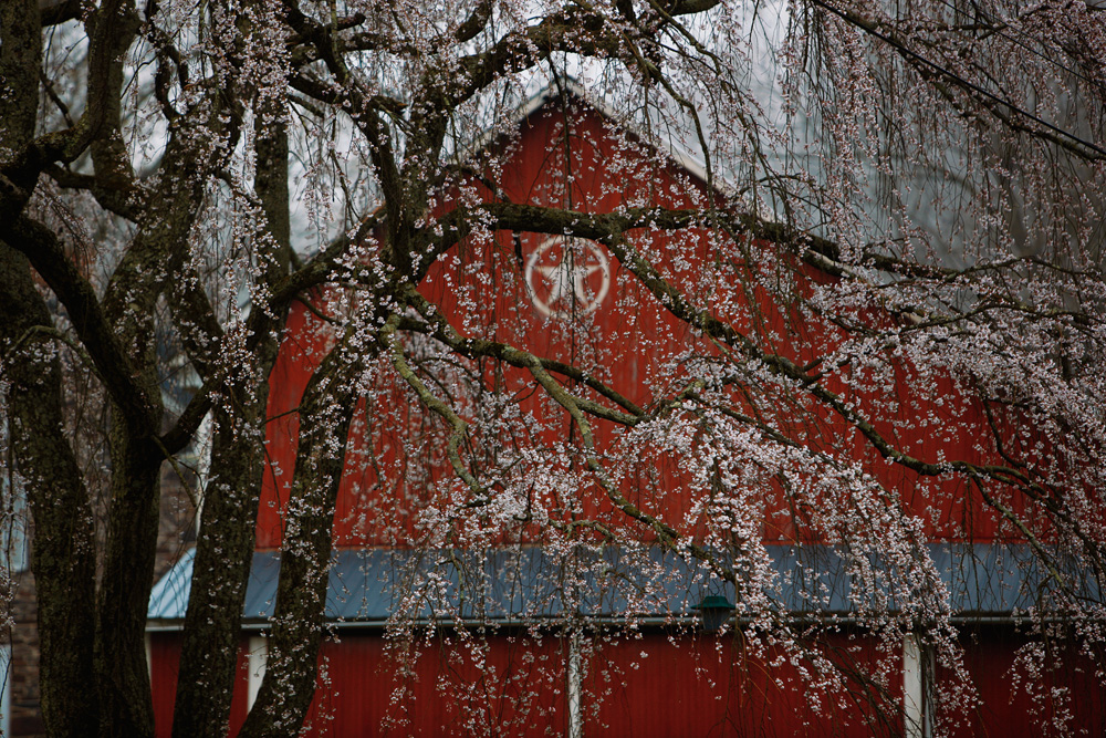 Weeping Cherry and Barn