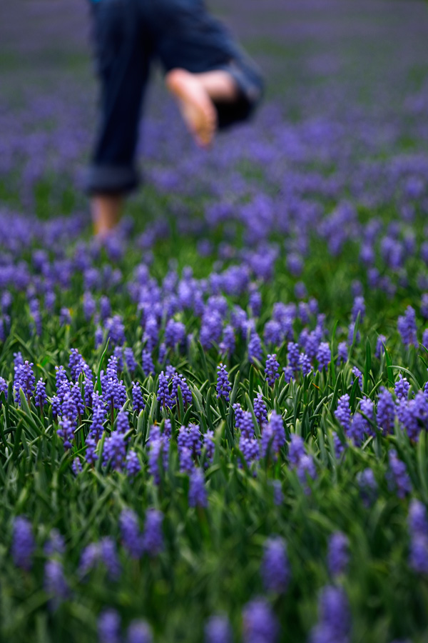 A Field of Grape Hyacinth (<i>Muscari botryoides</i>)