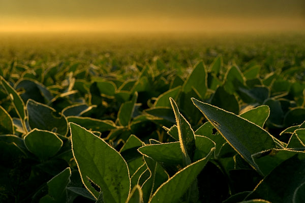 Morning Soybean Leaves