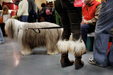 Polish Lowland Sheepdog & Owners (Westminster Kennel Club Show, NYC)