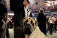 A Mastiff Called Grant (Westminster Kennel Club Show, NYC)