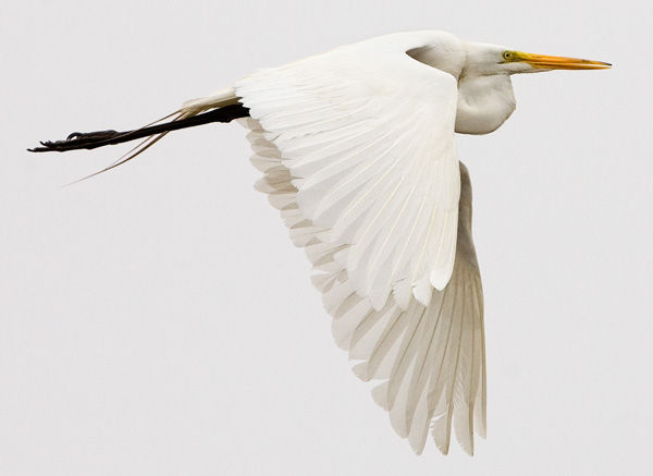 Great Egret (<i>Ardea alba</i>)