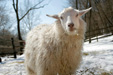Cashmere Goat